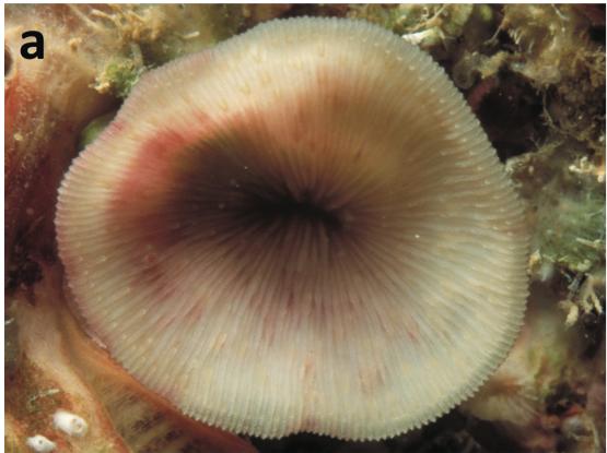 Leptoseris-troglodyta-2.png
