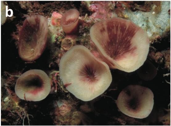 Leptoseris-troglodyta.png