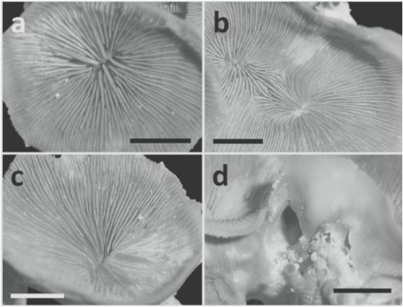 Leptoseris-troglodyta-skeleton.png