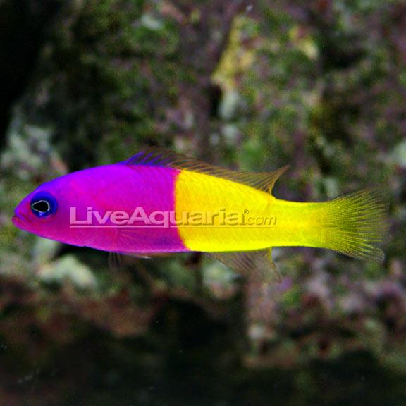 lg-72472-pseudochromis.jpg