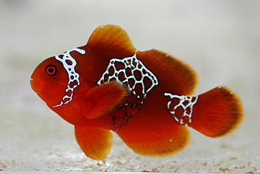 lightning-maroon-clownfish-PNG-0.jpg