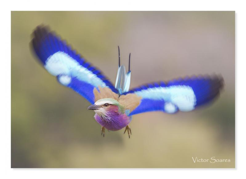 Lilac Breasted Roller 02.jpg