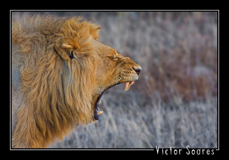 Lion 02.jpg