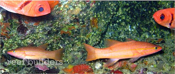 liopropoma-emanueli-2.png