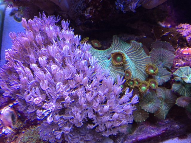 Live Rock with Purple Pulsing Xenia (med),green mushrooms,heads of green zoas.JPG