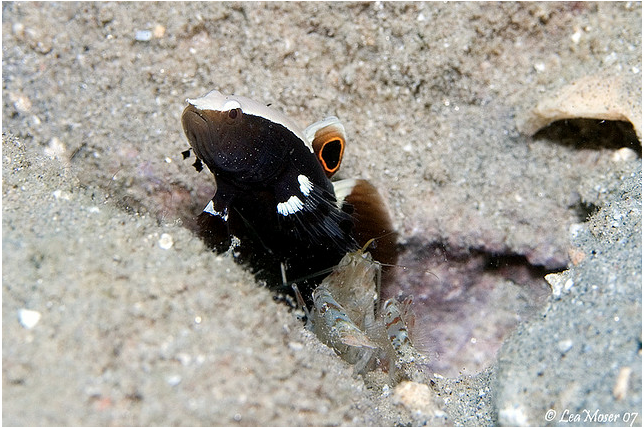 lotilia-graciliosa-red-sea.png