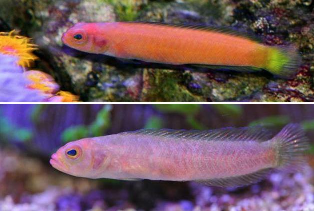 Lubbockichthys-multisquamatus.png