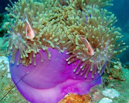 Magnificent-Sea-anemone.jpg