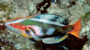 maldives-rudie-kuiter-300x166.png