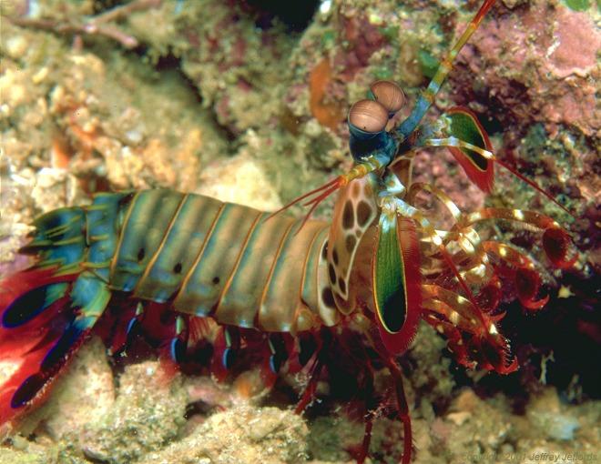 Mantis_Shrimp_.jpg