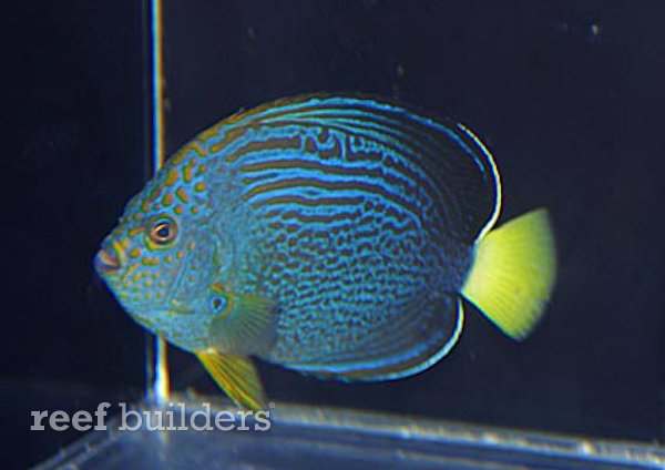 maze-angelfish-1.jpg