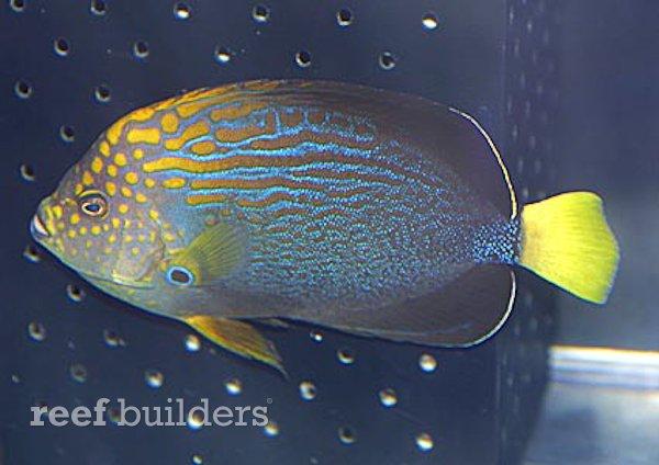 maze-angelfish-2.jpg