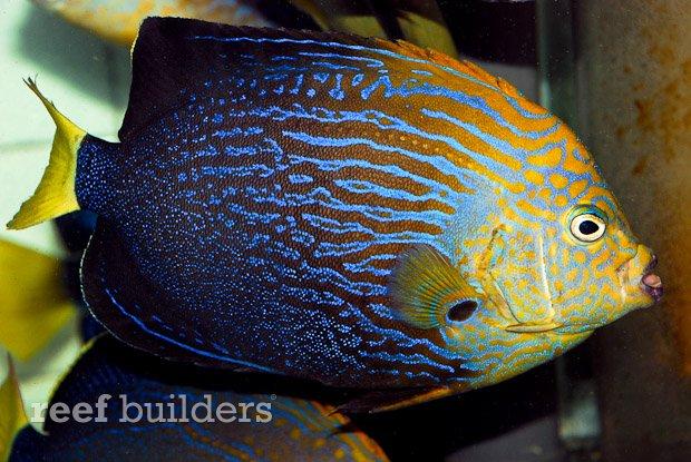 maze-angelfish-chaetodontoplus-10.jpg