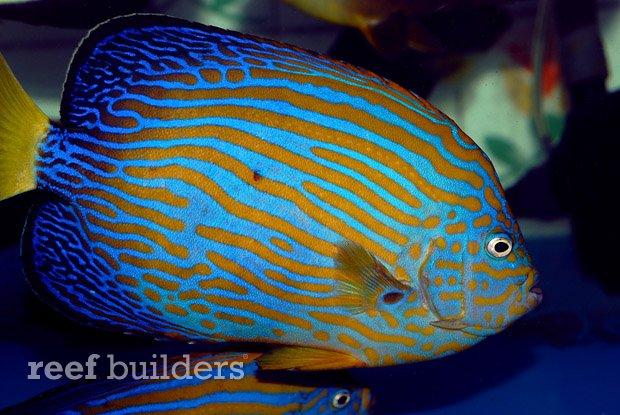 maze-angelfish-chaetodontoplus-5.jpg
