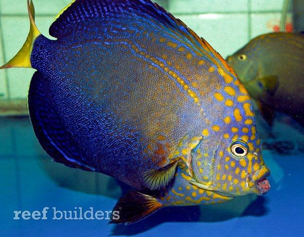 maze-angelfish-chaetodontoplus-7.jpg