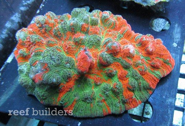 meltdown-chalice-coral-1.jpg
