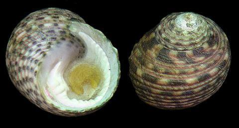 Monodonta_australis_1_zpsojzo98wo.JPG