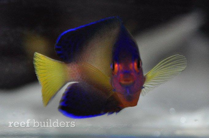 multicolor-coral-beauty-angelfish-1.jpg