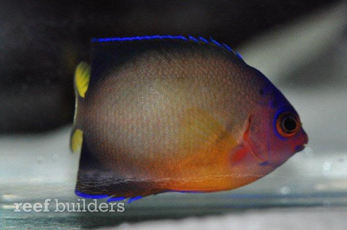 multicolor-coral-beauty-angelfish-3.jpg