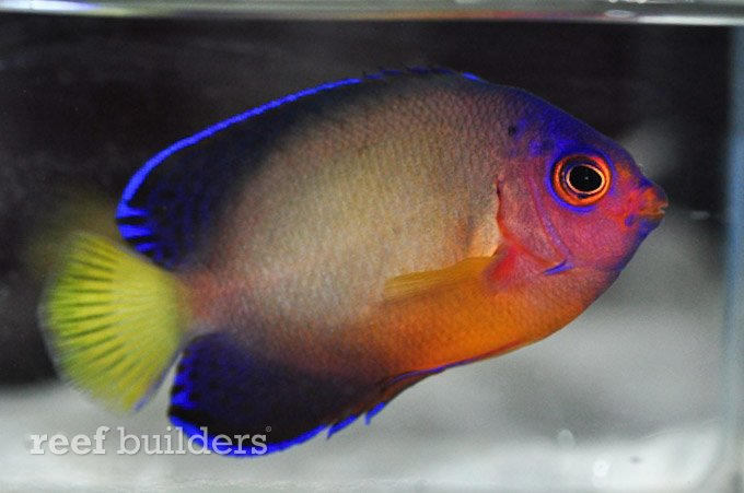 multicolor-coral-beauty-angelfish-4.jpg