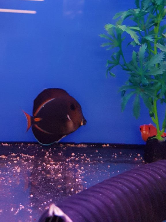 my first achillies tang (2).jpg