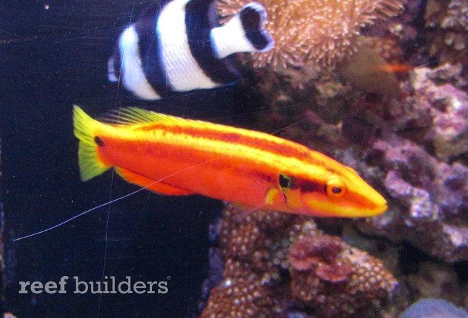 neon-hogfish.jpg