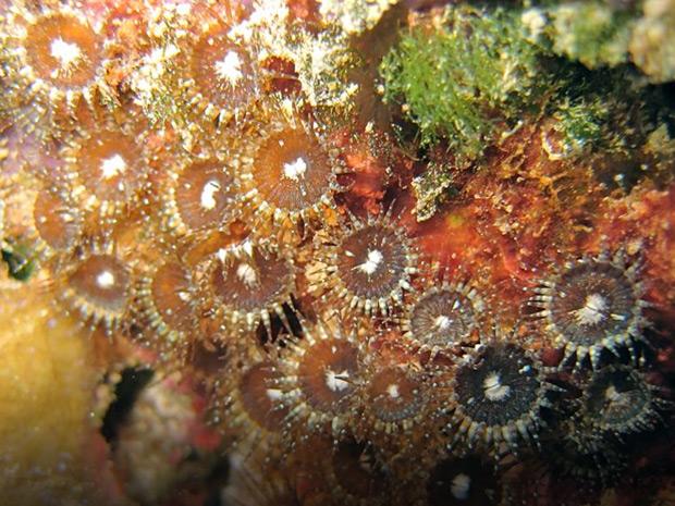neozoanthus-caleyi.jpg