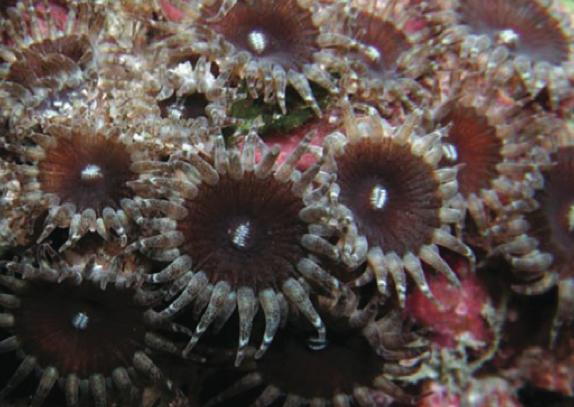neozoanthus-caleyi.png