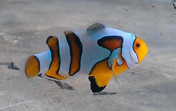new-picasso-clownfish.jpg