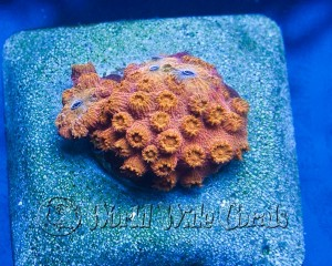 orange-cyphastrea-300x240.jpg