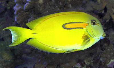 OrangespotSurgeonfishWMTa_Ap8ST.jpg