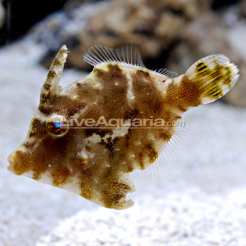 Aiptasia eating filefish marine aquariums south africa for Aiptasia eating fish