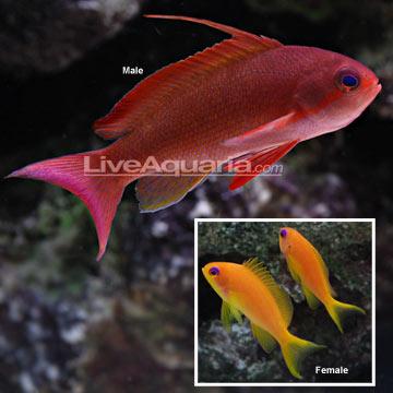 p-26195-Lyretail-Male.jpg