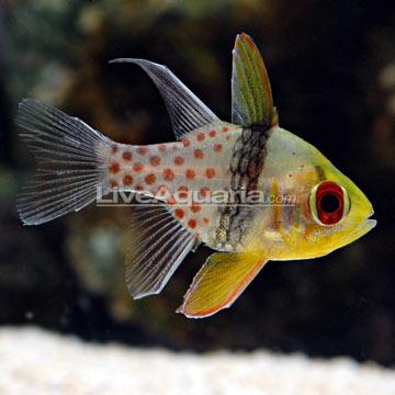 p-39336-cardinalfish.jpg