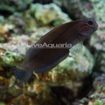 p-39349-combtooth-blenny3.jpg