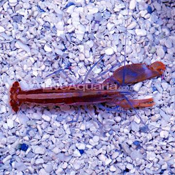 p-39414-Pistol-Shrimp.jpg