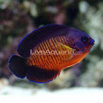 p-66102-Coral-Beauty.jpg