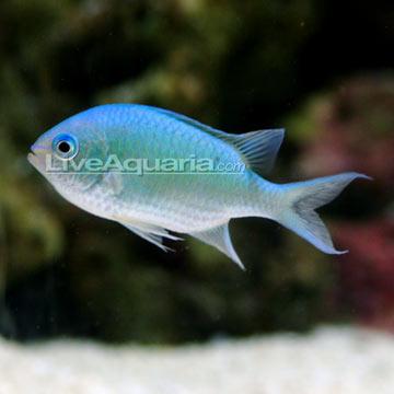 p-70197-blue-green-chromis.jpg
