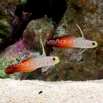 p-71133-firefish.jpg
