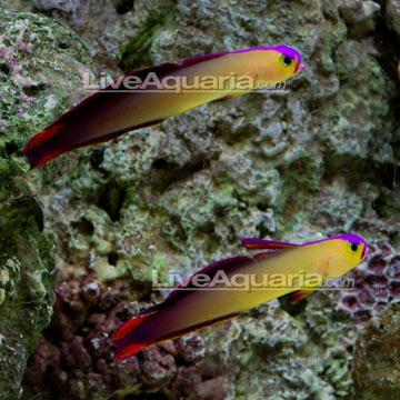 p-71146-purple-firefish.jpg