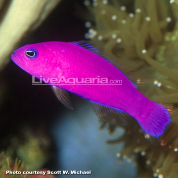 p-72524-pseudochromis.jpg