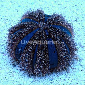 p-79336-Blue-Tuxedo-Urchin.jpg