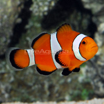 p-80188-clownfish.jpg