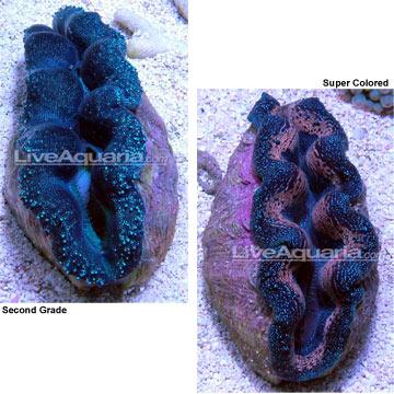 p-80194-clam.jpg