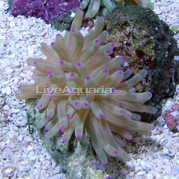 p-81091-anemone.jpg