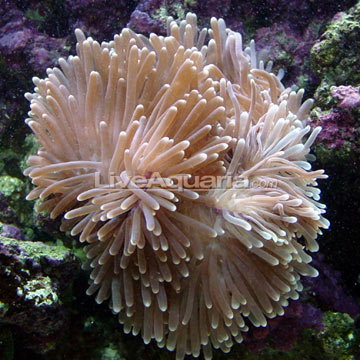 p-81273-anemone.jpg