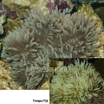 p-81481-anemone.jpg
