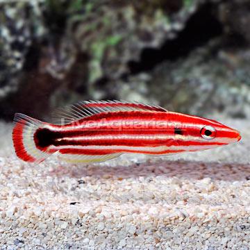 p-89406-pacific-hogfish.jpg