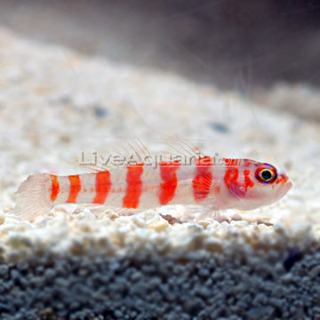 p-89414-Red-Striped-Goby.jpg