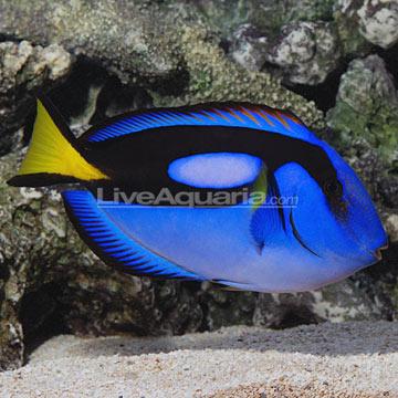 p-89505-blue-tang.jpg